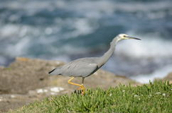 White Faced Heron Stock Images