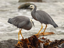 White-faced Heron Pair Royalty Free Stock Photo