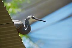 White-faced Heron Perch Royalty Free Stock Photos