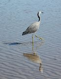 White-faced heron reflected in the shallows. A hunting white-faced heron strides through shallow water Royalty Free Stock Photo