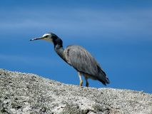 White faced heron on rock Stock Image