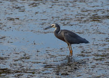 White-faced Heron. Seen at Koolewong, Central Coast, NSW, Australia Royalty Free Stock Image