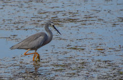 White-faced Heron. Seen at Koolewong, Central Coast, NSW, Australia Royalty Free Stock Photo