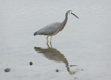 White Faced Heron Royalty Free Stock Image