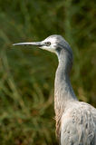 White faced heron Stock Photography