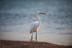 White faced Heron standing on rocky shore on the Red Sea coast Stock Photo
