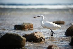 White faced Heron standing on rocky shore on the Red Sea coast Stock Images