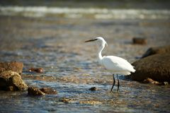 White faced Heron standing on rocky shore on the Red Sea coast Stock Photography