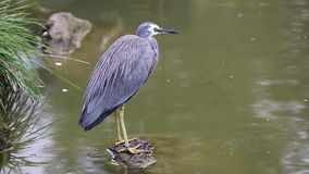 White-Faced Heron Standing On A Stone