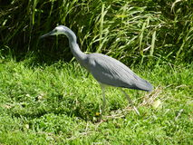 White Faced Heron Stock Photo