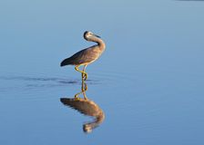 White-faced heron wading in tidal pool. A white-faced heron wades through a tidal pool in early morning light Stock Photos