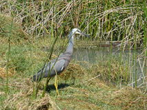 White-faced Heron. Royalty Free Stock Images