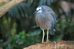 White-faced heron Stock Photo