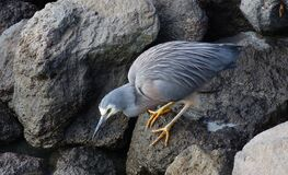 White faced Heron.(Egretta novaehollandiae) Stock Photography