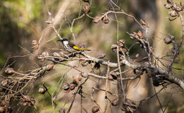 White faced honey eater Royalty Free Stock Photo