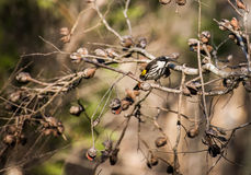 White faced honey eater Stock Photo