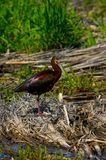 White-faced Ibis Royalty Free Stock Photos