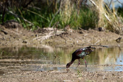 White-faced Ibis Royalty Free Stock Images