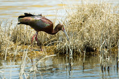 White Faced Ibis Stock Images