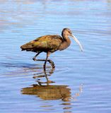 White faced ibis Stock Image