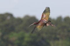 White-Faced Ibis Flying Over a Marsh Stock Photography