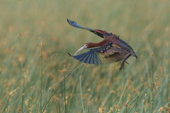 White-faced Ibis Landing in a Marsh Stock Photos