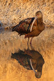 White-faced Ibis Looking Back. A White-faced Ibis and it's reflection on a cold spring morning in New Mexico Royalty Free Stock Images