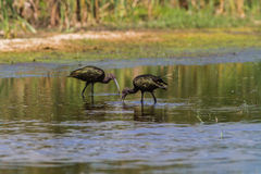 White -faced Ibis Royalty Free Stock Images
