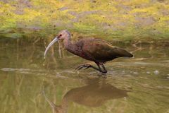 White-faced Ibis (Plegadis chihi). Hunting in Northern California Royalty Free Stock Photo