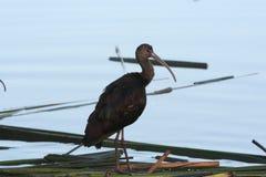 White-faced ibis (Plegadis chihi) Royalty Free Stock Photo
