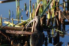 White-faced ibis (Plegadis chihi) Stock Photos