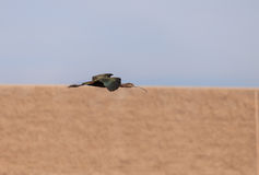 White faced ibis, Plegadis chihi, flies. Above the marsh at the San Joaquin wildlife reserve in Irvine, California, United States Stock Photos