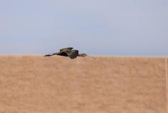 White faced ibis, Plegadis chihi, flies Stock Photos