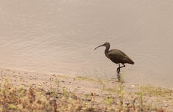 White faced ibis, Plegadis chihi Royalty Free Stock Image