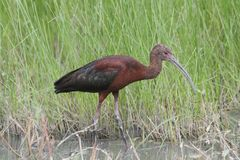 White-faced Ibis Plegadis chihi Stock Photos