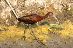 White-faced Ibis (Plegadis chihi) Stock Photography