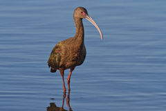 White-faced Ibis (Plegadis chihi) Royalty Free Stock Photo