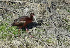 White-faced Ibis Stock Photos