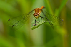 White-faced Meadowhawk Dragonfly Stock Photo