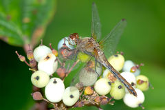 White-faced Meadowhawk Dragonfly Stock Image