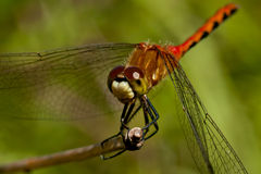 White-faced Meadowhawk Dragonfly Royalty Free Stock Photos