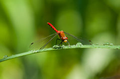White-faced Meadowhawk Royalty Free Stock Photo