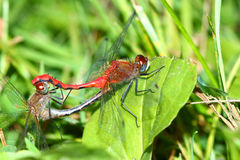 White-faced Meadowhawk Sympetrum obtrusum Royalty Free Stock Photo