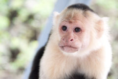 White-Faced Monkey Royalty Free Stock Images