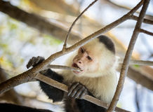 White-Faced Monkey Stock Photos