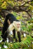 White-Faced Monkey Stock Image