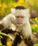 White-Faced Monkey Royalty Free Stock Photography