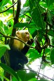 White-faced monkey eating insect in Manuel Antonio National Park, Costa Rica Royalty Free Stock Photos