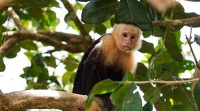 White Faced Monkey Stock Photos