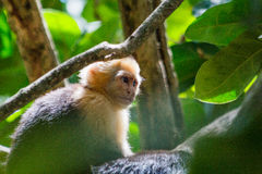 White Faced Monkey profile Royalty Free Stock Image